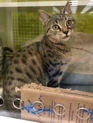 [picture of Bucky Bear, a Domestic Short Hair gray spotted tabby\ cat]