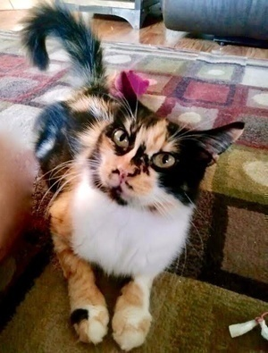 [another picture of Blossom, a Domestic Medium Hair calico\ cat]