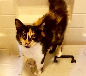 [picture of Blossom, a Domestic Medium Hair calico\ cat]