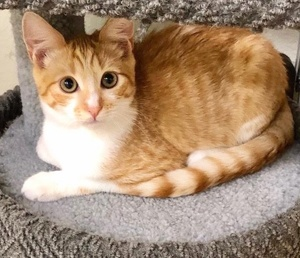 [another picture of Tony, a Domestic Short Hair orange/white\ cat]