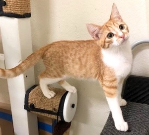 [picture of Tony, a Domestic Short Hair orange/white\ cat]