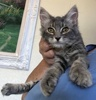 A picture of #ET03993: Kiwi a Domestic Medium Hair silver