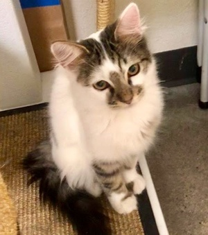 [another picture of Toby, a Turkish Van Mix white/brown stripe\ cat]