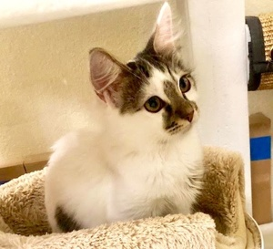 [picture of Toby, a Turkish Van Mix white/brown stripe\ cat]