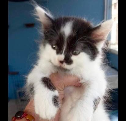 [picture of Po, a Turkish Van Mix white/black\ cat]