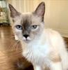 A picture of #ET03996: Simone a Ragdoll Mix blue point
