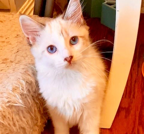 [picture of Libby AKA Calae, a Ragdoll Mix snowshoe\ cat]