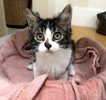 A picture of #ET03998: Suni a Ragdoll Mix black tabby/white