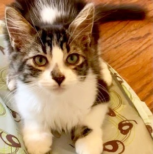 [picture of Suni, a Ragdoll Mix black tabby/white\ cat]