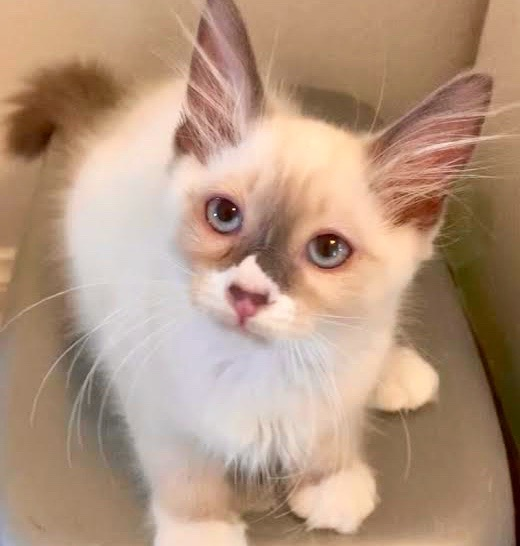[picture of Sasha, a Ragdoll Mix blue point\ cat]