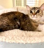 A picture of #ET04000: Solana a Domestic Short Hair brown tabby