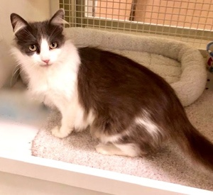 [another picture of Loren, a Ragdoll Mix blue/white\ cat]