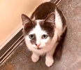A picture of #ET04002: Krisy a Domestic Medium Hair white/blue