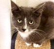 A picture of #ET04003: Misty a Domestic Medium Hair blue/white