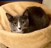 A picture of #ET04004: Gina a Domestic Medium Hair blue/white
