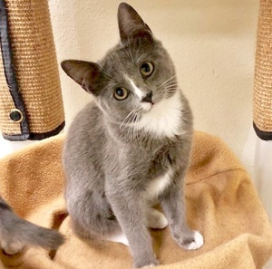 [another picture of Gina, a Domestic Medium Hair blue/white\ cat]