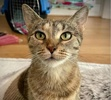 A picture of #ET04005: Sienna a Domestic Short Hair tabby/tortie