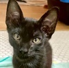 A picture of #ET04006: Luno a Domestic Short Hair black