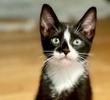 A picture of #ET04007: Otto a Domestic Short Hair black/white