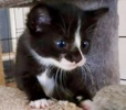 [picture of Otto, a Domestic Short Hair black/white cat]