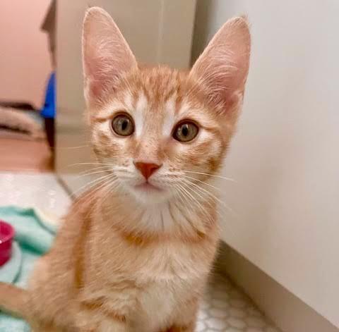 [picture of Bella Mia, a Domestic Short Hair orange\ cat]