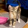 A picture of #ET04009: Aria a Domestic Short Hair calico
