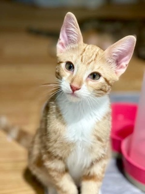 [another picture of Leo Lee, a Domestic Short Hair orange/white\ cat]