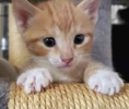 [picture of Leo Lee, a Domestic Short Hair orange/white cat]