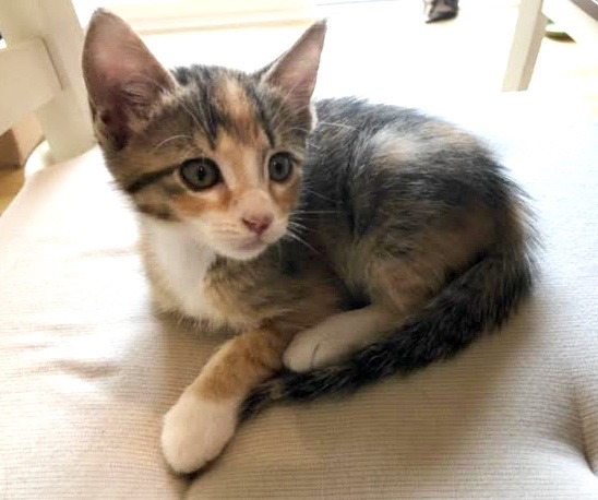 [picture of London, a Domestic Medium Hair calico\ cat]