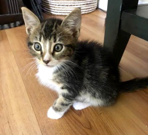 [picture of Dover, a Domestic Medium Hair brow tabby\ cat]