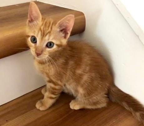 [picture of Chester, a Domestic Medium Hair orange\ cat]