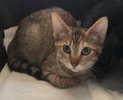A picture of #ET04014: Bridget a Domestic Short Hair tabby