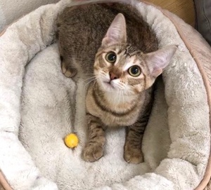 [another picture of Bridget, a Domestic Short Hair tabby\ cat]