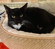 A picture of #ET04015: Taffy a Domestic Short Hair black/white
