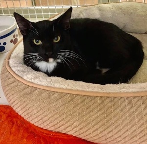 [another picture of Taffy, a Domestic Short Hair black/white\ cat]