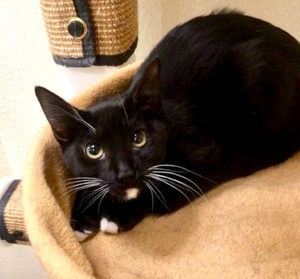 [picture of Taffy, a Domestic Short Hair black/white\ cat]