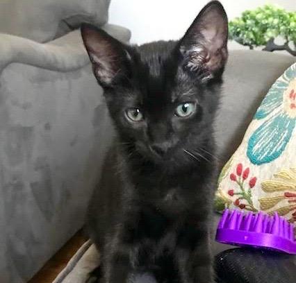 [picture of Casey Jones, a Domestic Short Hair black\ cat]