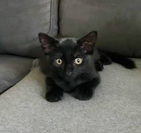 [picture of Tabitha, a Domestic Medium Hair black\ cat]