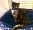 A picture of #ET04018: Wendy a Domestic Short Hair calico