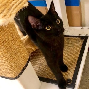 [picture of Davey, a Domestic Short Hair black\ cat]