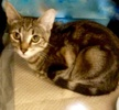 [picture of Sola, a Domestic Short Hair black/gray tabby cat]