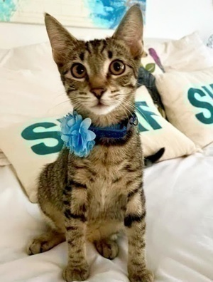 [another picture of Pooja, a Domestic Short Hair gray tabby\ cat]