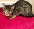 [picture of Pooja, a Domestic Short Hair gray tabby cat]