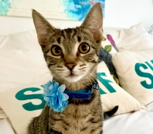 [picture of Pooja, a Domestic Short Hair gray tabby\ cat]