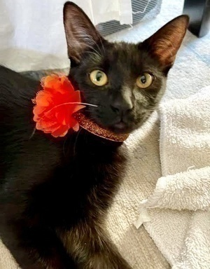 [another picture of Breha, a Domestic Medium Hair black\ cat]