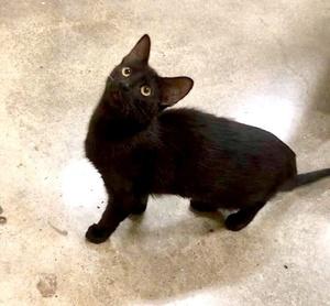 [picture of Breha, a Domestic Medium Hair black\ cat]