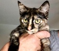 A picture of #ET04025: Marie a Domestic Short Hair tortie