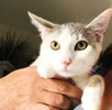 A picture of #ET04026: Secta a Turkish Van Mix white/silver