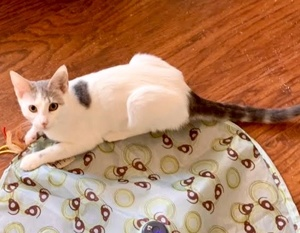 [another picture of Secta, a Turkish Van Mix white/silver\ cat]