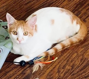 [another picture of Dennis Hopper, a Domestic Medium Hair white/orange\ cat]